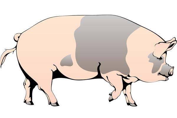 svinja